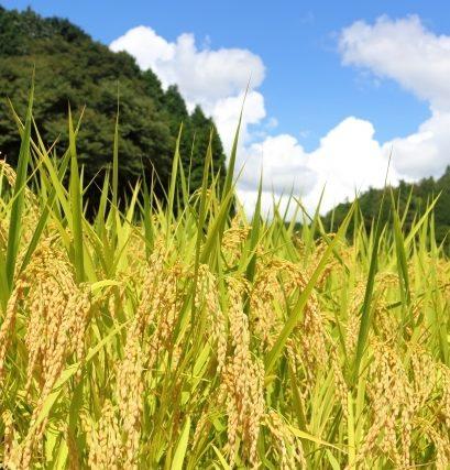 harvest -rice-